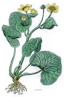 Caltha palustris | Sumpf-Dotterblume