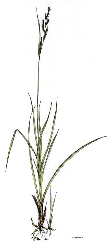 Carex acutiformis   Sumpfsegge