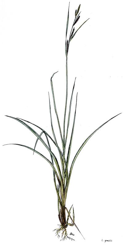 Carex gracilis   Schlanksegge