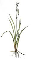 Carex riparia | Ufersegge