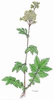 Filipendula ulmaria | Mädesüß