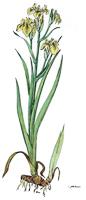 Iris pseudacorus | Sumpf- oder Wasserschwertlilie