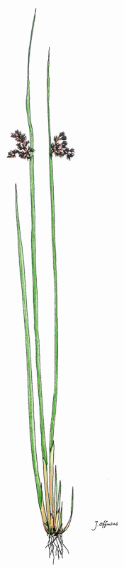 Juncus effusus | Flatter-Binse