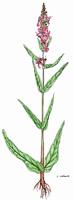 Lythrum salicaria | Blutweiderich