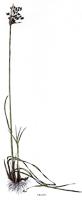 Schoenoplectus lacustris | Teichsimse