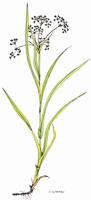 Scirpus sylvaticus | Waldsimse