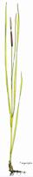 Typha angustifolia | Schmalblättriger Rohrkolben